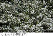 Цветущая вишня. Стоковое фото, фотограф Евгений Виноградов / Фотобанк Лори