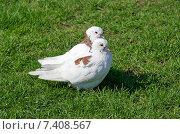 Купить «Пара белых голубей», эксклюзивное фото № 7408567, снято 7 мая 2015 г. (c) Елена Коромыслова / Фотобанк Лори