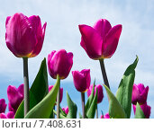 Пурпурные тюльпаны на фоне голубого неба с белыми облаками в солнечный день. Стоковое фото, фотограф E. O. / Фотобанк Лори