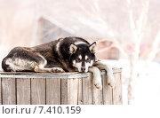 Хаски в питомнике для собак. Стоковое фото, фотограф Федоренко Борис / Фотобанк Лори