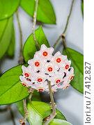 Купить «Хойя мясистая (Hoya carnosa).Популярное комнатное растение для вертикального озеленения», фото № 7412827, снято 11 мая 2015 г. (c) Евгений Мухортов / Фотобанк Лори
