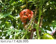 Купить «Томаты с дефектом в огороде», эксклюзивное фото № 7426995, снято 21 августа 2014 г. (c) Алёшина Оксана / Фотобанк Лори