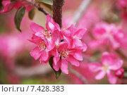 Купить «Цветущая розовым яблоня», фото № 7428383, снято 13 мая 2015 г. (c) Ткачёва Ольга / Фотобанк Лори