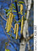 Берёзовые ветки с серёжками весной. Стоковое фото, фотограф lana1501 / Фотобанк Лори