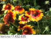 Купить «Шмель (Bombus) на цветке Гайлардии (Gaillardia)», эксклюзивное фото № 7432635, снято 23 августа 2014 г. (c) Алёшина Оксана / Фотобанк Лори