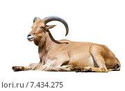 Купить «Ibex Spanish. Isolated over white», фото № 7434275, снято 6 апреля 2013 г. (c) Яков Филимонов / Фотобанк Лори