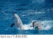 Пара игривых дельфинов на представлении в дельфинарии. Стоковое фото, фотограф Наталия Елсукова / Фотобанк Лори