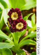 Купить «Ушковая примула (Primula auricula)», фото № 7438743, снято 12 июня 2014 г. (c) Юлия Бабкина / Фотобанк Лори