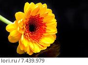 Купить «Желтая гербера на черном фоне», фото № 7439979, снято 9 февраля 2015 г. (c) Сурикова Ирина / Фотобанк Лори