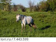 Купить «Конь пасущийся весной на траве», фото № 7443599, снято 13 мая 2015 г. (c) Андрей Жданов / Фотобанк Лори