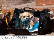 Собака породы чихуахуа сидит в сумке. Стоковое фото, фотограф Мячикова Наталья / Фотобанк Лори