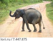 Слоненок переходит дорогу. Шри Ланка. Стоковое фото, фотограф Михаил Коханчиков / Фотобанк Лори