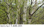 Весенний березняк. Стоковое видео, видеограф Геннадий Георгевич Руденко / Фотобанк Лори