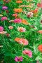 Цинния (Zinnia), эксклюзивное фото № 7450651, снято 21 августа 2014 г. (c) Алёшина Оксана / Фотобанк Лори