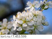 Купить «Ветка цветущей вишни», фото № 7453599, снято 9 мая 2015 г. (c) Недзельская Татьяна / Фотобанк Лори