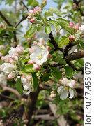 Яблоня в цвету. Стоковое фото, фотограф Матвеева Елизавета / Фотобанк Лори