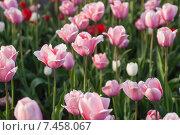 Купить «Фон из розовых тюльпанов», фото № 7458067, снято 9 мая 2015 г. (c) Недзельская Татьяна / Фотобанк Лори