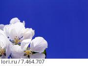 Купить «Цветы яблони на фоне голубого неба. Место для текста», фото № 7464707, снято 1 июня 2013 г. (c) Евгений Ткачёв / Фотобанк Лори