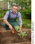 Купить «Мужчина работает на огороде. Окучивание рассады капусты», фото № 7465027, снято 22 мая 2015 г. (c) Александр Романов / Фотобанк Лори