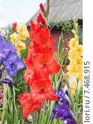 Купить «Гладиолус красный (Gladiolus)», эксклюзивное фото № 7468915, снято 16 августа 2013 г. (c) Алёшина Оксана / Фотобанк Лори