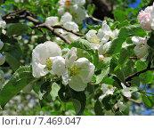Купить «Цветущая яблоня весной», эксклюзивное фото № 7469047, снято 21 мая 2015 г. (c) lana1501 / Фотобанк Лори