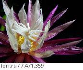 Цветок Криптоцереус антонианус. Стоковое фото, фотограф Елена Алексеева / Фотобанк Лори