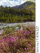 Весенний пейзаж с цветущим багульником на берегу горной реки. Стоковое фото, фотограф Виктория Катьянова / Фотобанк Лори