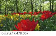 Купить «Парковые цветы (тюльпаны и нарциссы) в лучиках солнца», видеоролик № 7478067, снято 25 мая 2015 г. (c) Звездочка ясная / Фотобанк Лори