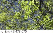 Купить «Весенняя листва, освещенная солнцем», видеоролик № 7478075, снято 25 мая 2015 г. (c) Звездочка ясная / Фотобанк Лори