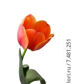 Купить «Тюльпан, изолированно на белом фоне», фото № 7481251, снято 8 марта 2011 г. (c) Анна Полторацкая / Фотобанк Лори