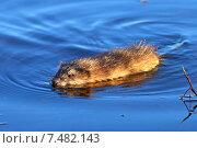 Купить «Ондатра, или мускусная крыса (лат. Ondatra zibethicus) плавает в озере при вечернем свете», фото № 7482143, снято 26 мая 2015 г. (c) Григорий Писоцкий / Фотобанк Лори