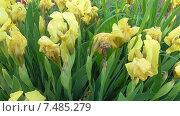 Желтые ирисы. Стоковое видео, видеограф Андрей Каретников / Фотобанк Лори