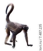 Купить «long-haired spider monkey», фото № 7487235, снято 7 августа 2014 г. (c) Яков Филимонов / Фотобанк Лори