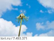 Купить «Стебель отцветшего одуванчика с разлетевшимися семенами на фоне голубого неба с белыми облаками», фото № 7493371, снято 30 мая 2015 г. (c) Екатерина Овсянникова / Фотобанк Лори