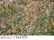 Купить «Цветущие ветви барбариса», эксклюзивное фото № 7494975, снято 18 мая 2015 г. (c) Svet / Фотобанк Лори
