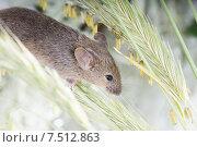 Купить «Обыкновенная мышь (Mus musculus) спускается по злаковой траве», фото № 7512863, снято 29 мая 2015 г. (c) Ирина Кожемякина / Фотобанк Лори