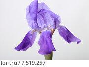 Купить «Фиолетовый ирис на светлом фоне», эксклюзивное фото № 7519259, снято 2 июня 2015 г. (c) Яна Королёва / Фотобанк Лори
