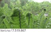Купить «Папоротник», видеоролик № 7519867, снято 3 июня 2015 г. (c) Звездочка ясная / Фотобанк Лори