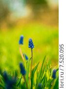 Синий мускари. Стоковое фото, фотограф Сотникова Кристина / Фотобанк Лори