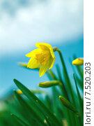 Желтый нарцисс. Стоковое фото, фотограф Сотникова Кристина / Фотобанк Лори