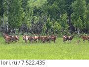 Купить «Стая Пятнистых оленей (Cervus nippon) на поляне перед летним лесом», эксклюзивное фото № 7522435, снято 4 июня 2015 г. (c) Алексей Гусев / Фотобанк Лори