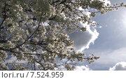 Купить «Цветущая слива. Панорама-наезд. Slide Camera.», видеоролик № 7524959, снято 19 мая 2015 г. (c) Mike The / Фотобанк Лори