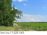 Грунтовой дороге между полем и деревья. Стоковое фото, фотограф Сергей Боженов / Фотобанк Лори
