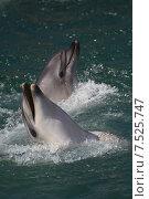 Купить «Анапский Утришский дельфинарий. Шоу морских млекопитающих», фото № 7525747, снято 6 июня 2015 г. (c) Игорь Архипов / Фотобанк Лори