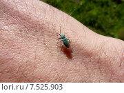 Жук Phyllobius (Metaphyllobius) pomaceus Gyllenhal на человеческой руке. Стоковое фото, фотограф Сергей Сипаков / Фотобанк Лори