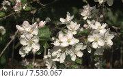 Купить «Цветущая яблоня. Мельба.», видеоролик № 7530067, снято 20 мая 2015 г. (c) Mike The / Фотобанк Лори