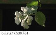 Купить «Цветущая яблоня. Штрейфлинг», видеоролик № 7530451, снято 20 мая 2015 г. (c) Mike The / Фотобанк Лори