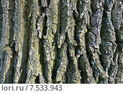Купить «Кора дуба. Фон», фото № 7533943, снято 21 февраля 2015 г. (c) Зобков Георгий / Фотобанк Лори
