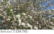 Купить «Цветущая яблоня. Мельба. Панорама налево. Slide Camera.», видеоролик № 7534743, снято 20 мая 2015 г. (c) Mike The / Фотобанк Лори