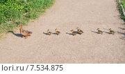 Купить «Утка с утятами переходят дорожку», эксклюзивное фото № 7534875, снято 7 июня 2015 г. (c) Алёшина Оксана / Фотобанк Лори